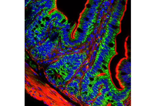 Confocal analysis of mouse small intestine using AIF (D39D2) XP<sup>®</sup> Rabbit mAb (green). Actin filaments were labeled with DyLight™ 554 Phalloidin #13054 (red). Blue pseudocolor = DRAQ5<sup>®</sup> #4084 (fluorescent DNA dye).