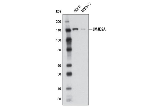Monoclonal Antibody - JMJD2A (C37E5) Rabbit mAb, UniProt ID O75164, Entrez ID 9682 #5328, Chromatin Regulation / Acetylation