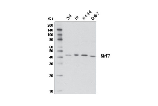 Western blot analysis of extracts from various cell lines using SirT7 (D3K5A) Rabbit mAb.