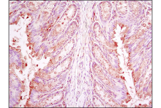 Immunohistochemical analysis of paraffin-embedded mouse colon using RagC (D31G9) XP<sup>®</sup> Rabbit mAb.