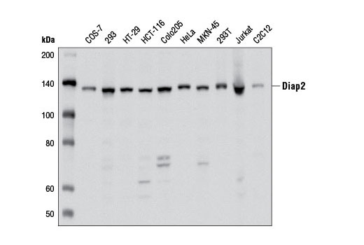 Western blot analysis of extracts from various cell lines using Diap2 Antibody.