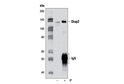 Immunoprecipitation of diap2 from HCT-15 cells using Diap2 Antibody. Western blot was performed using the same antibody.