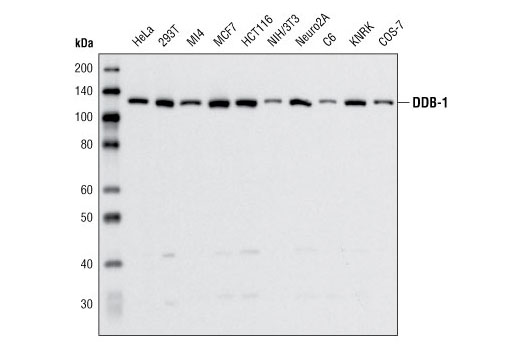 Western blot analysis of extracts from various cell lines using DDB-1 Antibody.