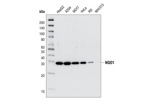 Western blot analysis of extracts from several cell lines using NQO1 (A180) Mouse mAb.