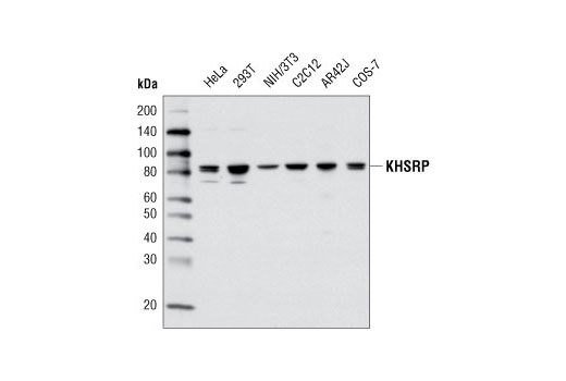 Western blot analysis of extracts from various cell types using KHSRP Antibody.