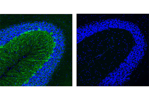 Confocal immunofluorescent analysis of normal rat cerebellum using Neurofilament H (RMdO 20) Mouse mAb #2836 (green, left) compared to concentration matched Mouse (G3A1) mAb IgG1 Isotype Control (green, right). Blue pseudocolor = DRAQ5<sup>®</sup> #4084 (fluorescent DNA dye).