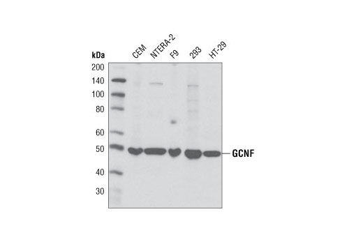 Western blot analysis of extracts from various cell lines using GCNF Antibody.