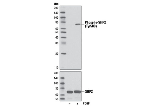Western blot analysis of extracts from C6 cells, serum-starved overnight and treated with PDGF (#9909, 50 ng/ml for 5 minutes), using Phospho-SHP-2 (Tyr580) (D66F10) Rabbit mAb (upper) or total SHP-2 Antibody #3752 (lower).