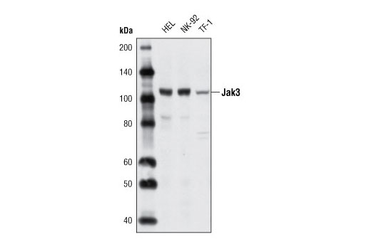Western blot analysis of extracts from various cell lines using Jak3 (5H2) Mouse mAb.