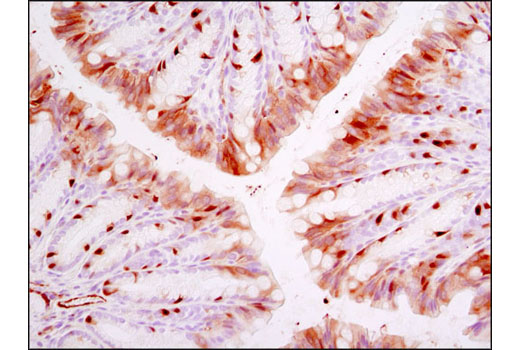 Immunohistochemical analysis of paraffin-emebedded mouse colon using Phospho-NDRG1 (Thr346) (D98G11) XP<sup>®</sup> Rabbit mAb.