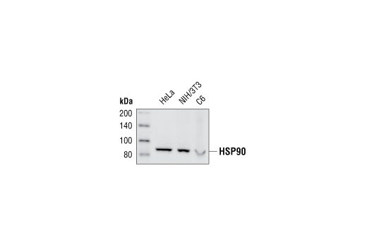 Western blot analysis of extracts from HeLa, NIH/3T3 and C6 cells, using HSP90 (E289) Antibody.