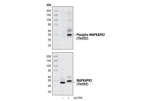 MAPKAPK-2 Thr222 Phosphate Target - count 2