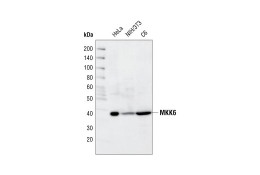 Western blot analysis of extracts from HeLa, NIH/3T3 and C6 cells, using MKK6 Antibody.
