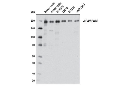Western blot analysis of extracts from various tissues and cell lines using JIP4/SPAG9 (D72F4) XP<sup>®</sup> Rabbit mAb.