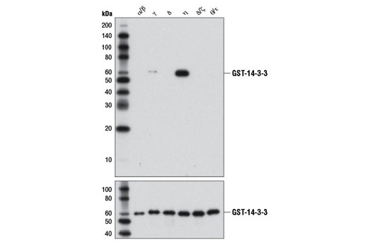 Image 6: 14-3-3 Family Antibody Sampler Kit
