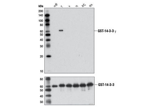 Image 2: 14-3-3 Family Antibody Sampler Kit