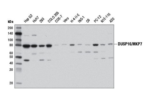 Monoclonal Antibody Western Blotting Mapk Export from Nucleus