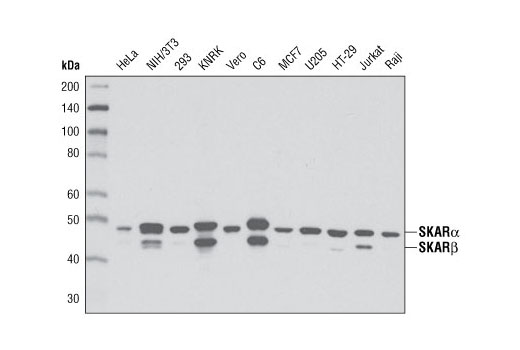 Western blot analysis of extracts from various cell types using SKAR α/β (D65E8) XP<sup>®</sup> Rabbit mAb.