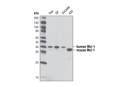Image 5: Pro-Survival Bcl-2 Family Antibody Sampler Kit
