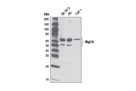 Western blot analysis of extract from various cell lines using Atg14 Antibody.