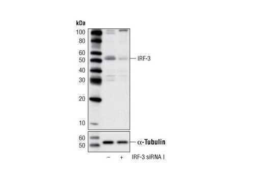 SignalSilence® IRF-3 siRNA I - Transfection, UniProt ID Q14653, Entrez ID 3661 #6274 - #6274