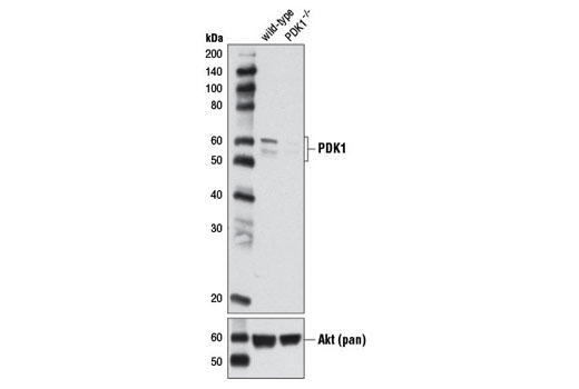 Western blot analysis of extracts from HCT 116 wild-type and HCT 116 PDK1<sup>-/-</sup> cells using PDK1 (D37A7) Rabbit mAb (upper) and Akt (pan) (C67E7) Rabbit mAb #4691 (lower). (HCT 116 wild-type and HCT<sup> </sup>116 PDK1<sup>-/-</sup> cells were kindly provided by Dr. Bert Vogelstein, Johns Hopkins University, Baltimore, MD).