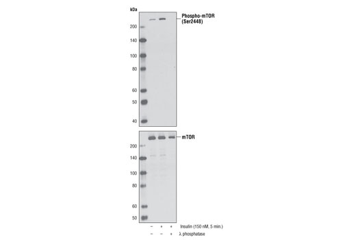 Western blot analysis of extracts from serum-starved NIH/3T3 cells, untreated or insulin-treated (150 nM, 5 minutes), alone or in combination with λ-phosphatase, using Phospho-mTOR (Ser2448) (D9C2) XP<sup>®</sup> Rabbit mAb (upper) or mTOR (7C10) Rabbit mAb #2983.
