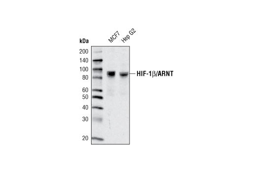 Western blot analysis of extracts from various cell types using HIF-1β/ARNT (D28F3) XP<sup>®</sup> Rabbit mAb.