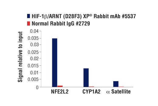 Chromatin immunoprecipitations were performed with cross-linked chromatin from T47D cells treated with BNF (1μM) for 45 min and either HIF-1β/ARNT (D28F3) XP<sup>®</sup> Rabbit mAb or Normal Rabbit IgG #2729 using SimpleChIP<sup>®</sup> Enzymatic Chromatin IP Kit (Magnetic Beads) #9003. The enriched DNA was quantified by real-time PCR using SimpleChIP<sup>® </sup>Human NFE2L2 Intron 1 Primers #81126, human CYP1A1 promoter primers, and SimpleChIP<sup>®</sup> Human α Satellite Repeat Primers #4486. The amount of immunoprecipitated DNA in each sample is represented as signal relative to the total amount of input chromatin, which is equivalent to one.