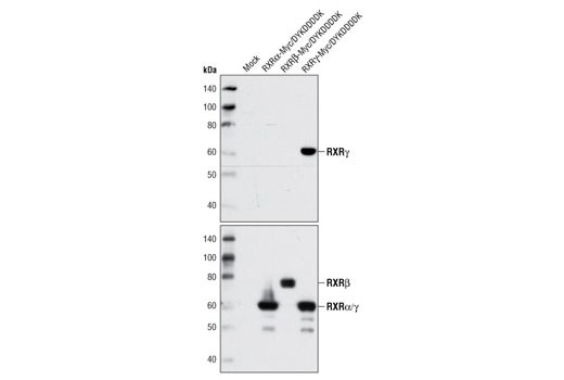 Western blot analysis of extracts from 293T cells, either mock transfected or transfected with human RXRα, RXRβ, or RXRγ DYKDDDK-tagged constructs, using RXRγ Antibody (upper) and DYKDDDK Tag Antibody (Binds to same epitope as Sigma's Anti-FLAG<sup>®</sup> M2 Antibody) #2368 (lower).