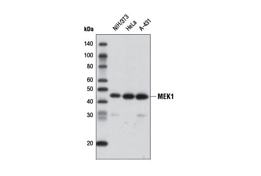 Western blot analysis of extracts from various cell lines using MEK1 (61B12) Mouse mAb (Biotinylated).