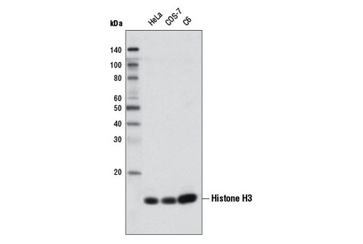 Monoclonal Antibody - Histone H3 (D1H2) XP® Rabbit mAb (Biotinylated), UniProt ID P68431, Entrez ID 8350 #5748, Chromatin Regulation / Acetylation