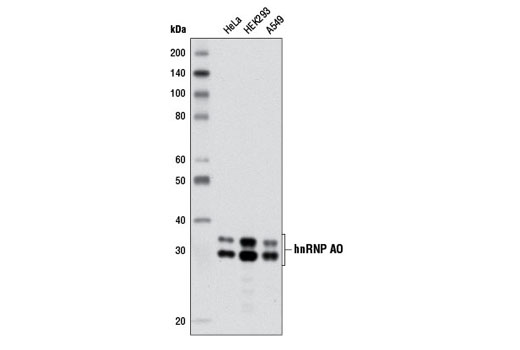 Western blot analysis of extracts from various cell lines using hnRNP A0 (D8A3) XP<sup>®</sup> Rabbit mAb.