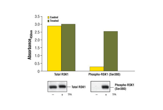 Figure 1. Treatment of HeLa cells with TPA stimulates phosphorylation of RSK1 at Ser380, detected by the PathScan<sup>®</sup> Phospho-RSK1 (Ser380) Sandwich ELISA Kit #7965, but does not affect the levels of total RSK1 detected by PathScan<sup>®</sup> Total RSK1 Sandwich ELISA Kit #7966. HeLa cells (80-90% confluent) were treated with 200 nM TPA #4174 for 30 minutes. The absorbance readings at 450 nm are shown in the top figure, while the corresponding western blots using RSK1 Antibody #9333 (left panel) or Phospho-p90RSK (Ser380) (9D9) Rabbit mAb #9335 (right panel) are shown in the bottom figure.