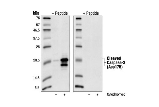 Western blot analysis of cell extracts from Jurkat cells treated with 0.25 mg/ml cytochrome c, using Cleaved Caspase-3 (Asp175) Antibody #9661 without (left) and with (right) preincubation with cleavage-peptide.