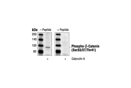 Image 1: Phospho-β-Catenin (Ser33/37/Thr41) Blocking Peptide