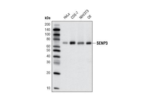 Human Sumo-Specific Protease Activity