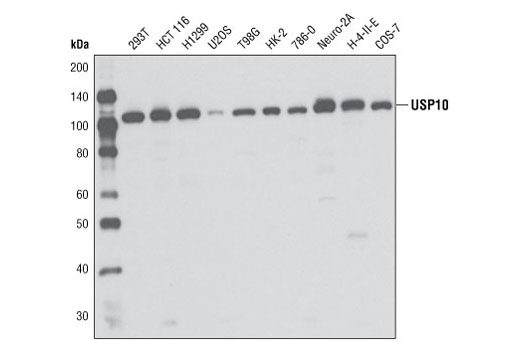 Western blot analysis of extracts from various cell lines using USP10 Antibody.