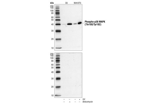 Western blot analysis of extracts from NIH/3T3 cells treated with UV, and C6 cells treated with anisomycin, using Phospho-p38 MAPK (Thr180/Tyr182) (3D7) Rabbit mAb #9215 (upper) or the same antibody preincubated with Phospho-p38 MAPK (Thr180/Tyr182) Blocking Peptide (lower).
