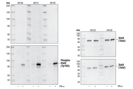 Western Blot analysis of extracts from serum starved HeLa cells, untreated or IFN-alpha-treated (100 ng/ml for 5 minutes), using a variety of Phospho-Stat3 and Stat 3 antibodies. The upper panels show the antibody pre-incubated with the blocking peptide while the lower panels have no blocking peptide added.