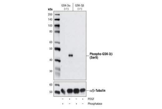 Western blot analysis of extracts from GSK-3α (-/-) (lanes 1,2) and GSK-3β (-/-) (lanes 3,4) mouse embryonic fibroblast (MEF) cells, λ phosphatase or PDGF-treated, using Phospho-GSK-3β (Ser9) (D85E12) XP<sup>®</sup> Rabbit mAb (upper) and α/β-Tubulin Antibody #2148 (lower). (MEF wild type, GSK-3α (-/-) and GSK-3β (-/-) cells were kindly provided by Dr. Jim Woodgett, University of Toronto, Canada).