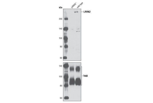 Polyclonal Antibody Western Blotting Lysosome Organization and Biogenesis