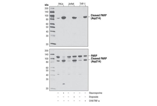 Western blot analysis of extracts from HeLa cells, untreated or treated with Staurosporine #9953 (1 μM, 3 hr), Jurkat cells, untreated or etoposide-treated (25 μM, overnight), and THP-1 cells, untreated or cycloheximide-treated (CHX, 10 μg/ml, overnight) followed by treatment with TNF-α #8902 (20 ng/ml, 4 hr), using Cleaved PARP (Asp214) (D64E10) XP<sup>®</sup> Rabbit mAb (upper), or total PARP Antibody #9542 (lower).