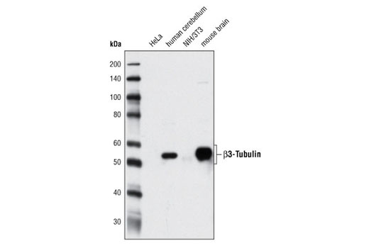 Western blot analysis of HeLa and human cerebellum using β3-Tubulin (D71G9) XP<sup>®</sup> Rabbit mAb.