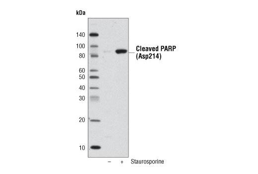 Cell Signaling Technology 5571 Anti Biotin D5a7 Rabbit