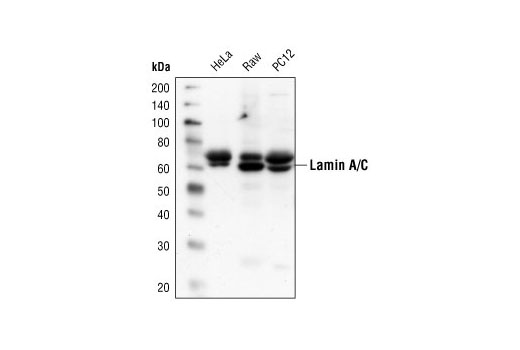 Western blot analysis of extracts from HeLa, Raw 264.7 and PC12 cells, using Lamin A/C Antibody.