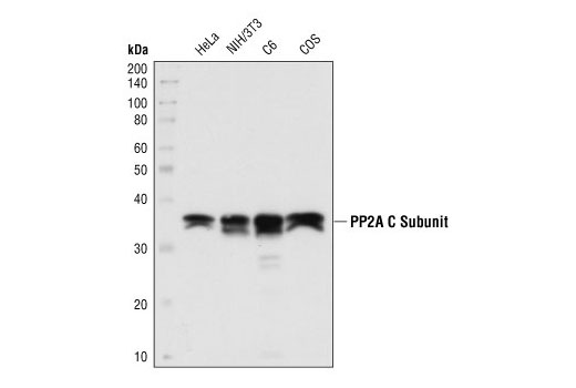Western blot analysis of extracts from HeLa, NIH/3T3, C6 and COS cells using PP2A C Subunit Antibody.
