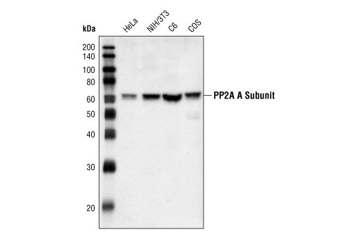 Western blot analysis of extracts from HeLa, NIH/3T3, C6 and COS cells, using PP2A A Subunit Antibody.
