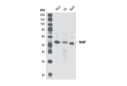 Polyclonal Antibody Caspase Inhibitor Activity