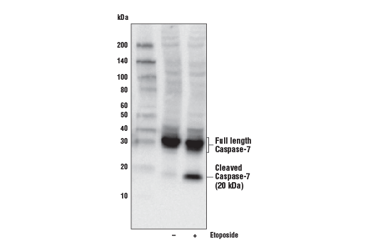 Cell Extract Kit - Jurkat Apoptosis Cell Extracts (etoposide) - 100 µl #2043 - Signal Transduction Reagents
